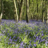 Swindon bluebells