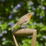 Sussex robin