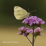Large White at West Dean